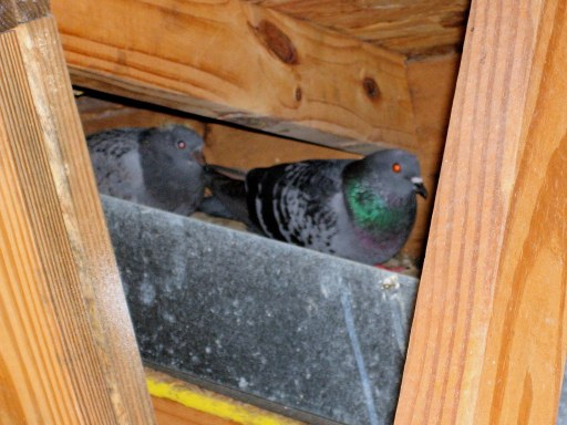 Bird Removal From Attic, Pigeons Removal From Attic