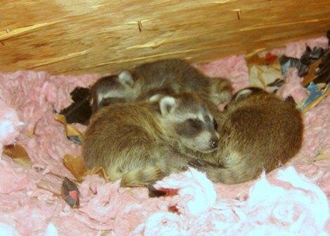 Baby Raccoon Attic; Raccoon As Pet