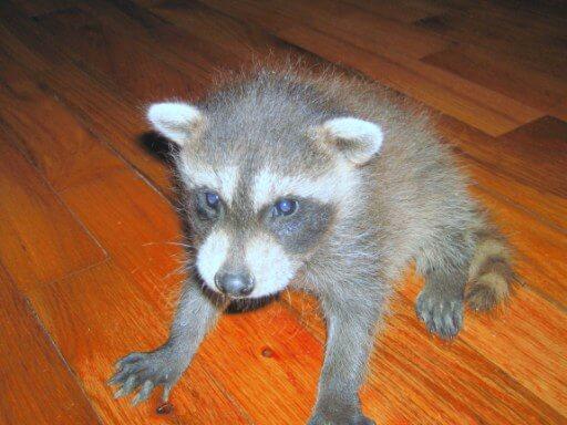 Raccoon As Pet