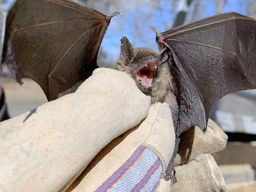 Bat Diet