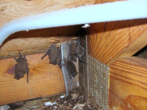 Bat Mating