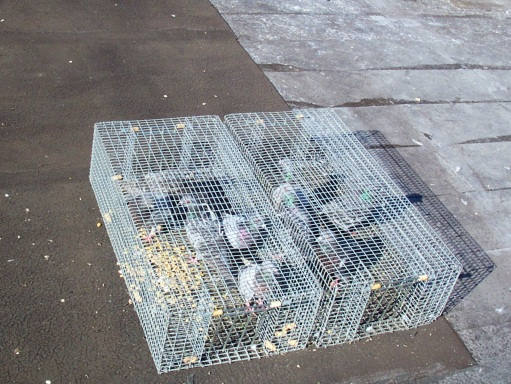 Birds Trapping Methods