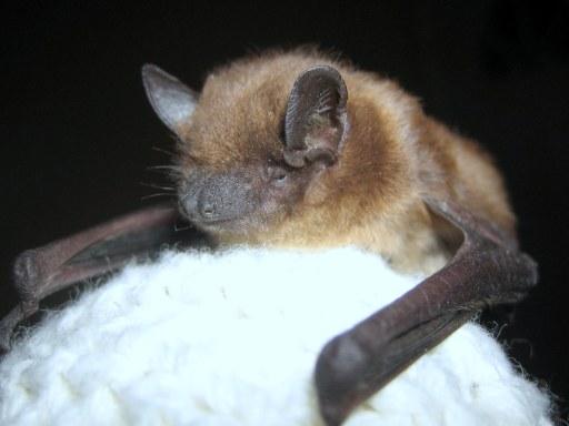 Bat Food