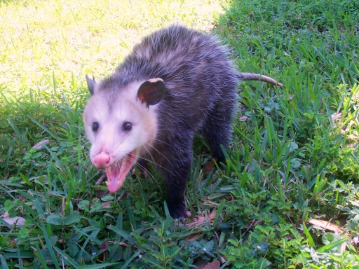 Opossum Tail Facts
