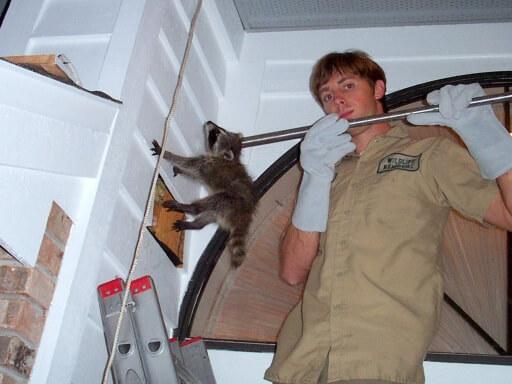 Remove Raccoon, Professional Raccoon Trapper