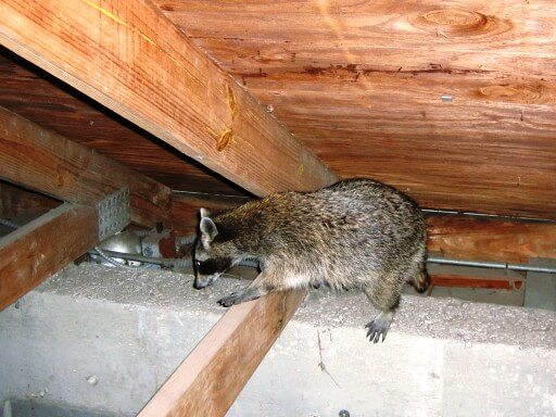 Raccoon Attic Removal
