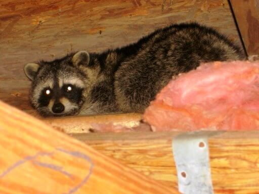 Remove Raccoon From Attic