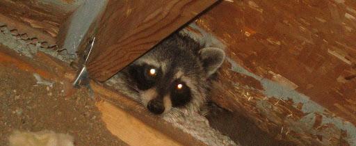 Raccoon Eviction Fluid
