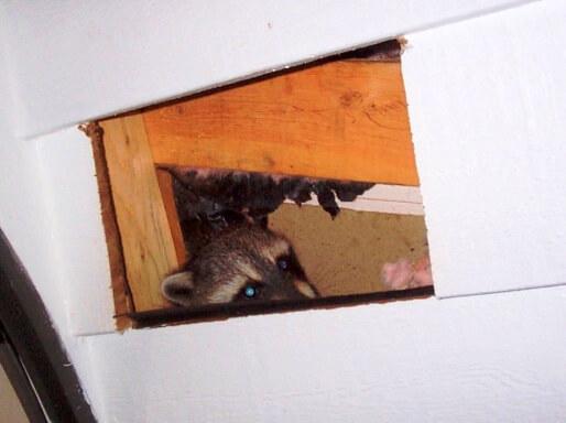 Raccoon Inside Wall