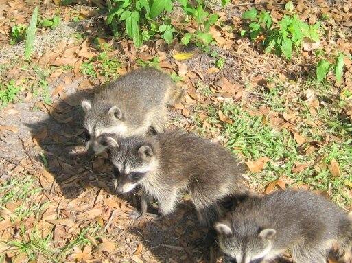 Handle Raccoon