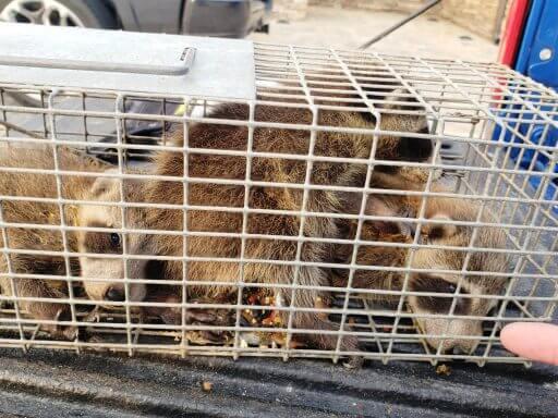 Kill Raccoon; Raccoon Repellents