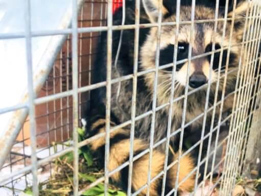 Raccoon Trapped; Raccoons Diseases