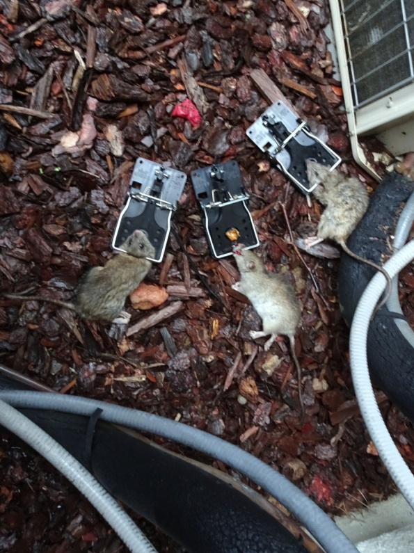 Rats Out Of Garbage