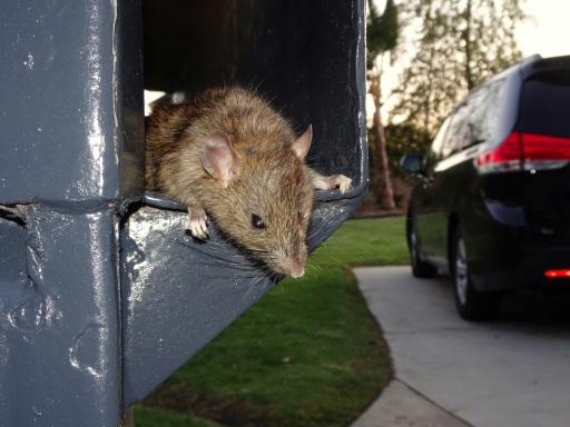 Rats In Garden