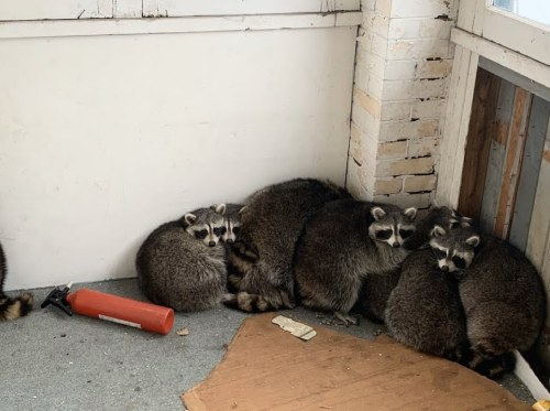 Remove Raccoon From Porch