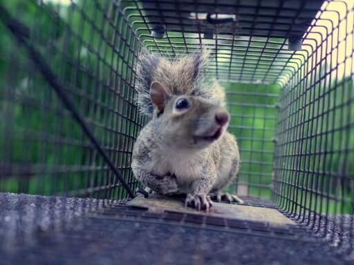 Keep Squirrels Away, Squirrel Repellents, Sick Squirrel Symptoms, Kill Squirrel Humanely