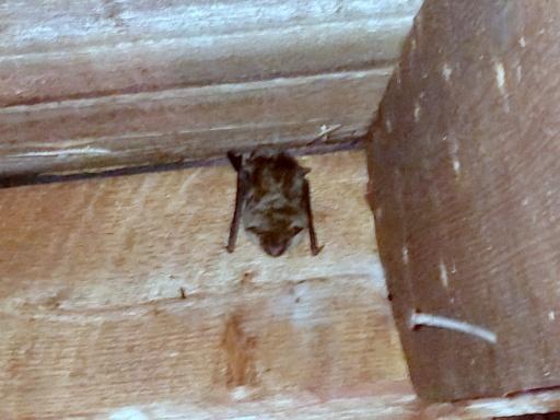 Get Bats Out Of Attic