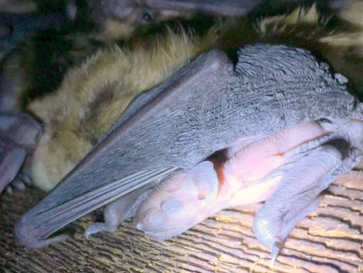 Bats A Threat