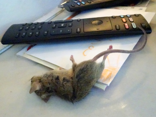 Caught Mouse, Mouse Poisoning