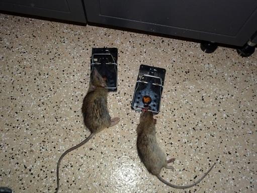Glue traps for mice