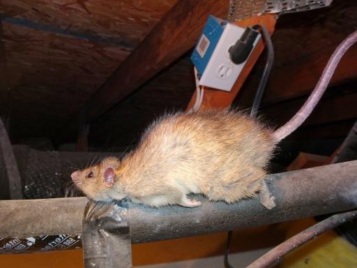 Sick Rat Symptoms