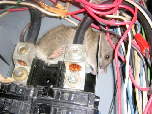 Rats Damage