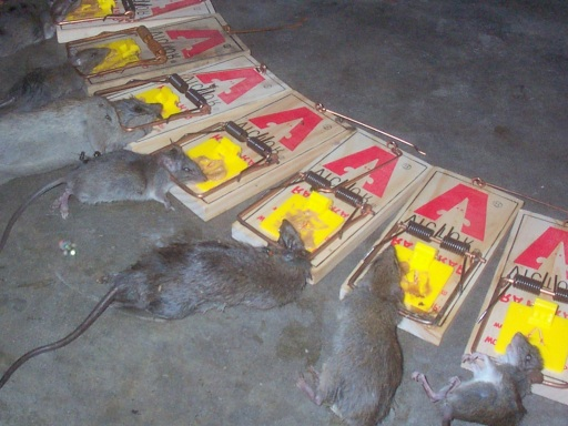 Killing Nuisance Rats
