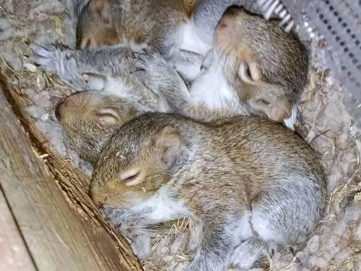 Squirrel Nest In Attic