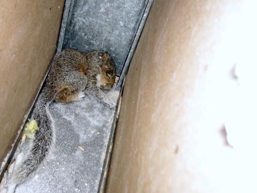Remove Squirrel From Wall, Remove Dead Squirrel