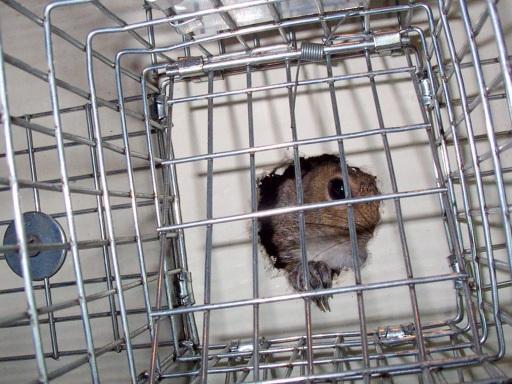 Remove Squirrel By Repellents