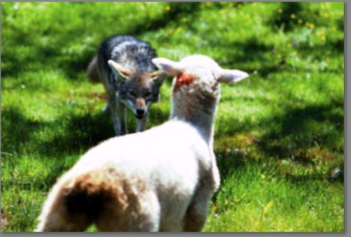 Coyotes Threat to Farm Animals