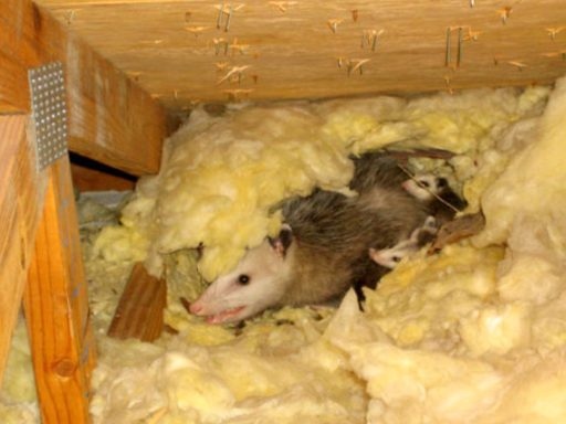 Opossum in Attic, Keep Opossums Away from Attic