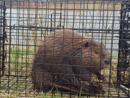 beaver live trap