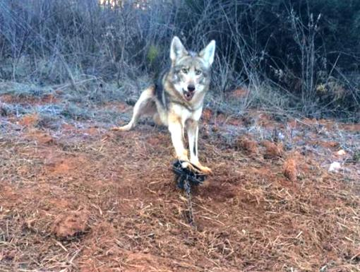 Coyote Killing Ways