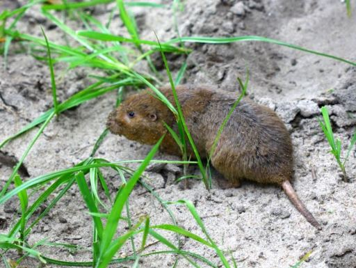 gopher small