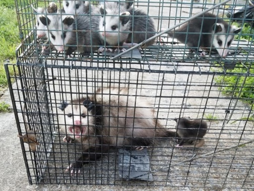 Opossums Damage to Property