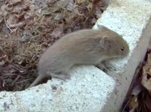 vole trapping