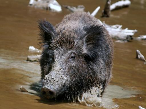 Wild Hog Prevention