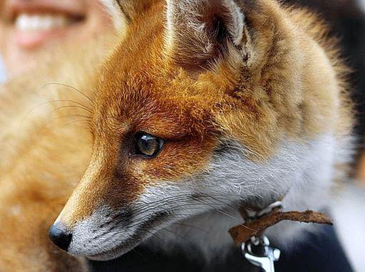 Fox As Pet