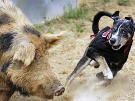 Hog Dogs
