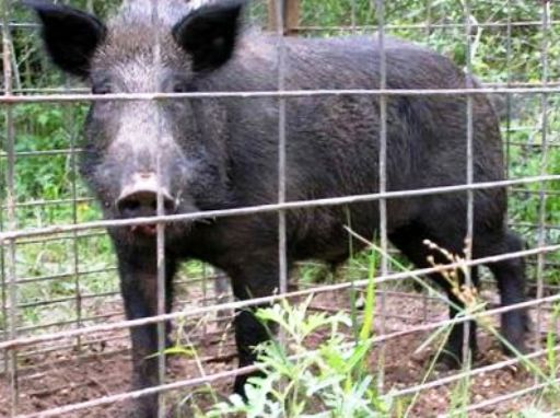 Wild Hogs Trapping