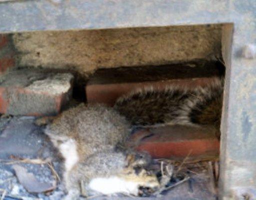 Dead Animal Inside Chimney