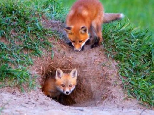 Foxes Reside