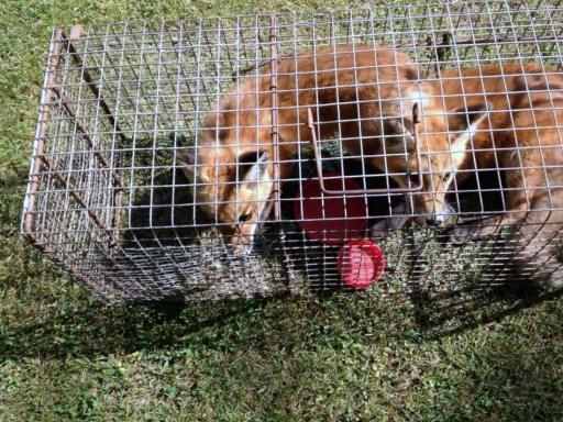 Fox Killing Ways