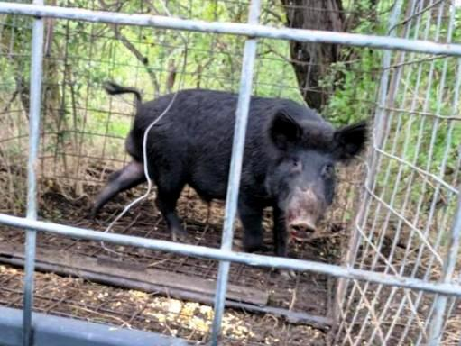 wild hog caged