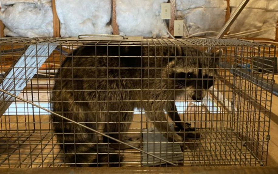 raccoon_removal