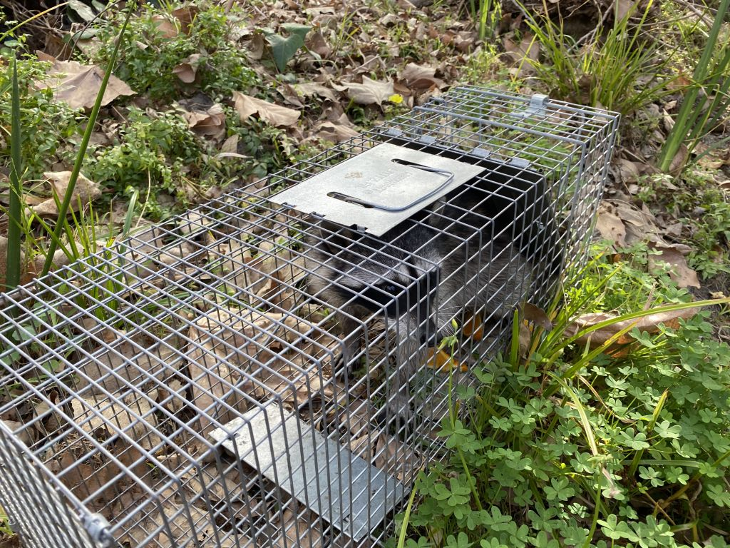 raccoon_prevention