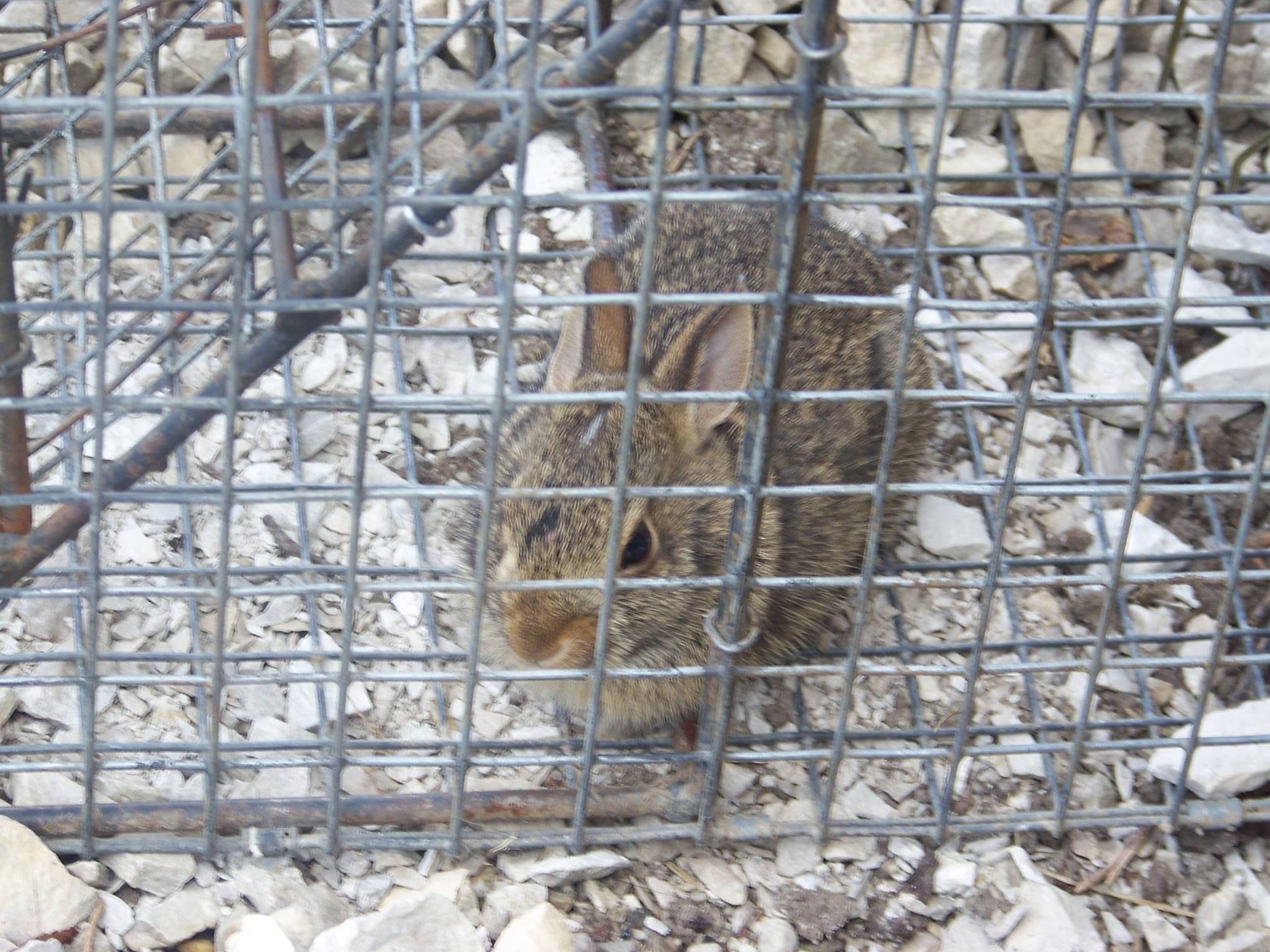 rabbit removal