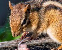 chipmunk prevention