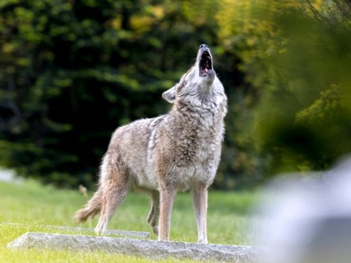 About Coyotes